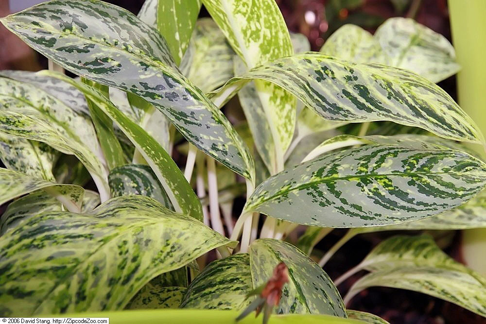 Chinese Evergreen (Alaonema)