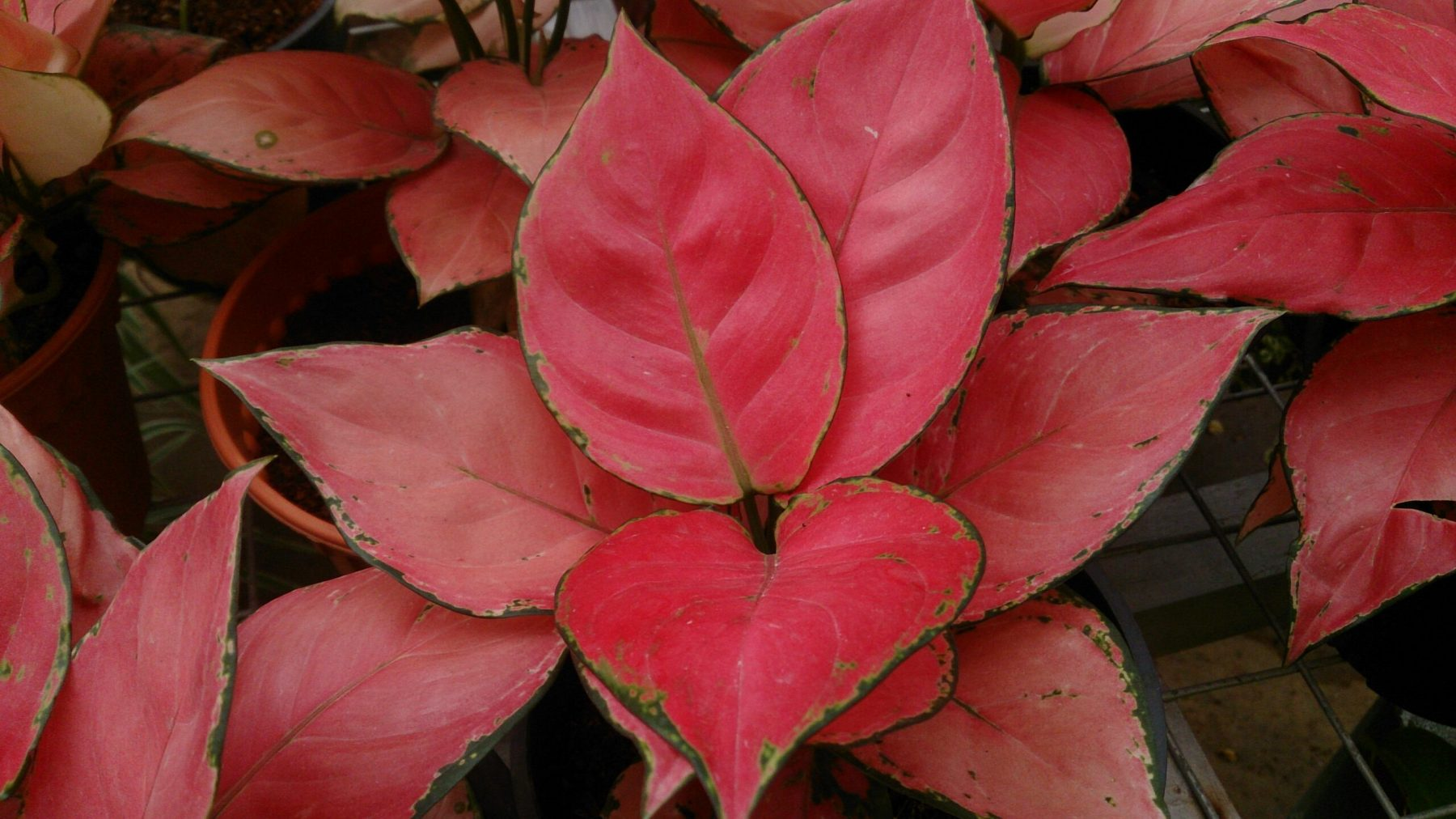 Aglaonema_sp_red_leaves-scaled