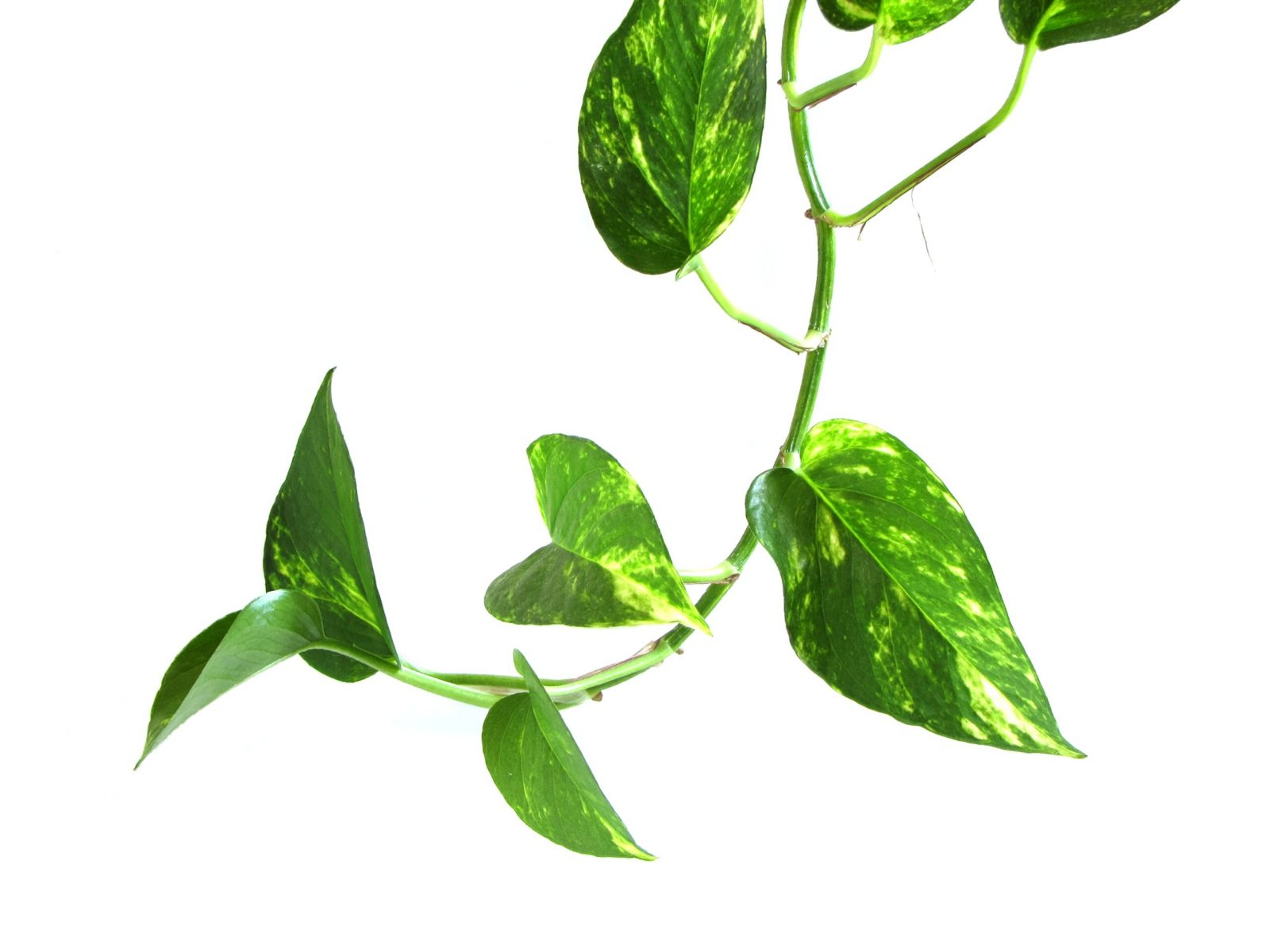 Pothos or Devil's Ivy (Epipremnum aureum)