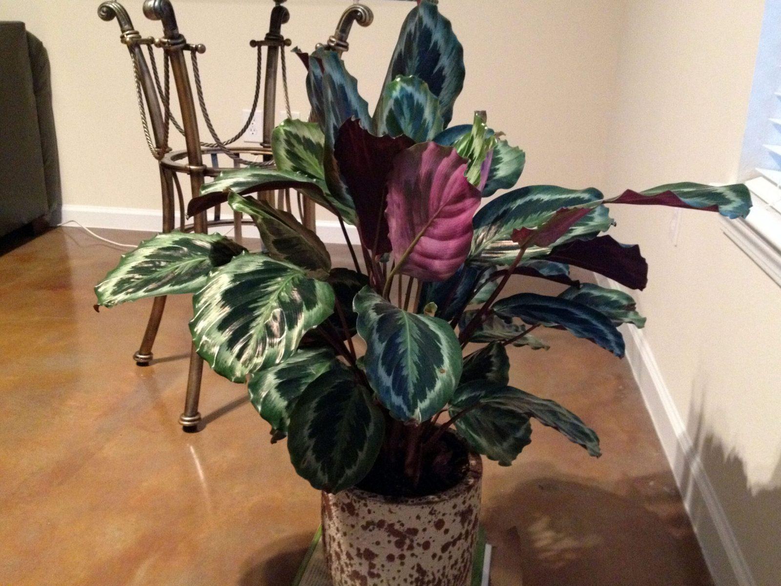 Prayer Plant (Maranta Leuconeura)