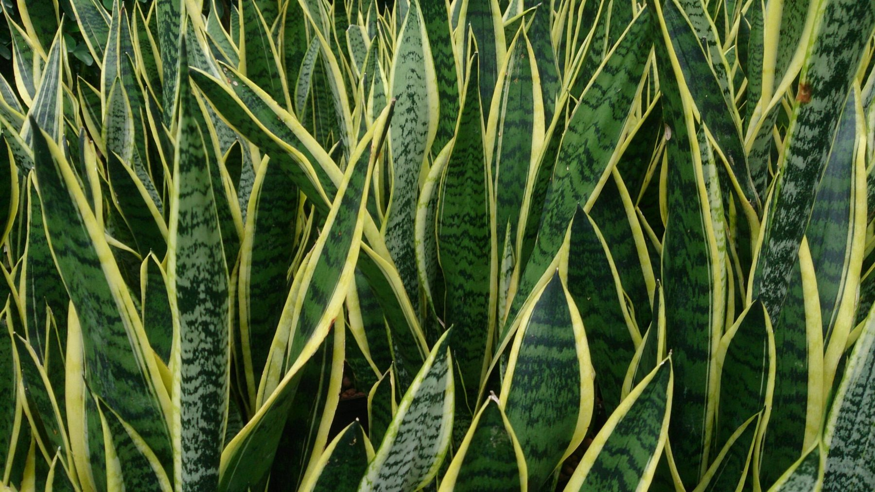 Snake Plant or Mother-in-Law's Tongue (Sanservieria)