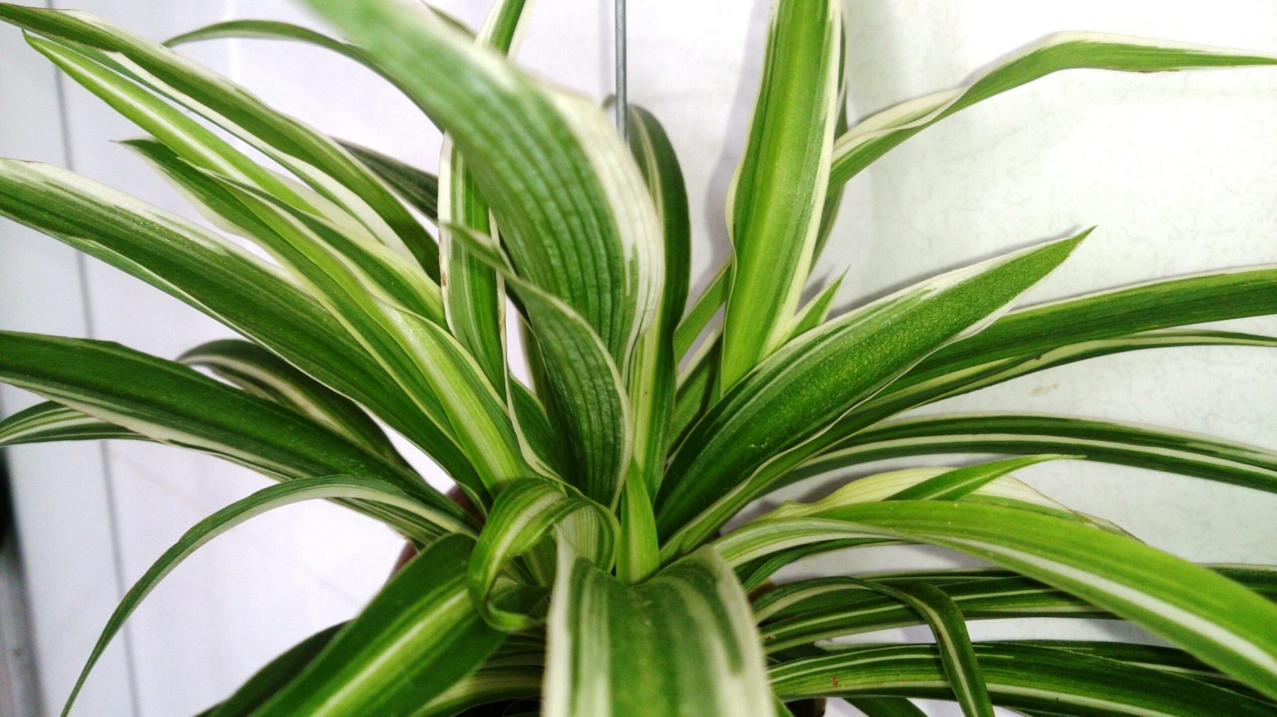 Spider Plant (Chlorophytum)