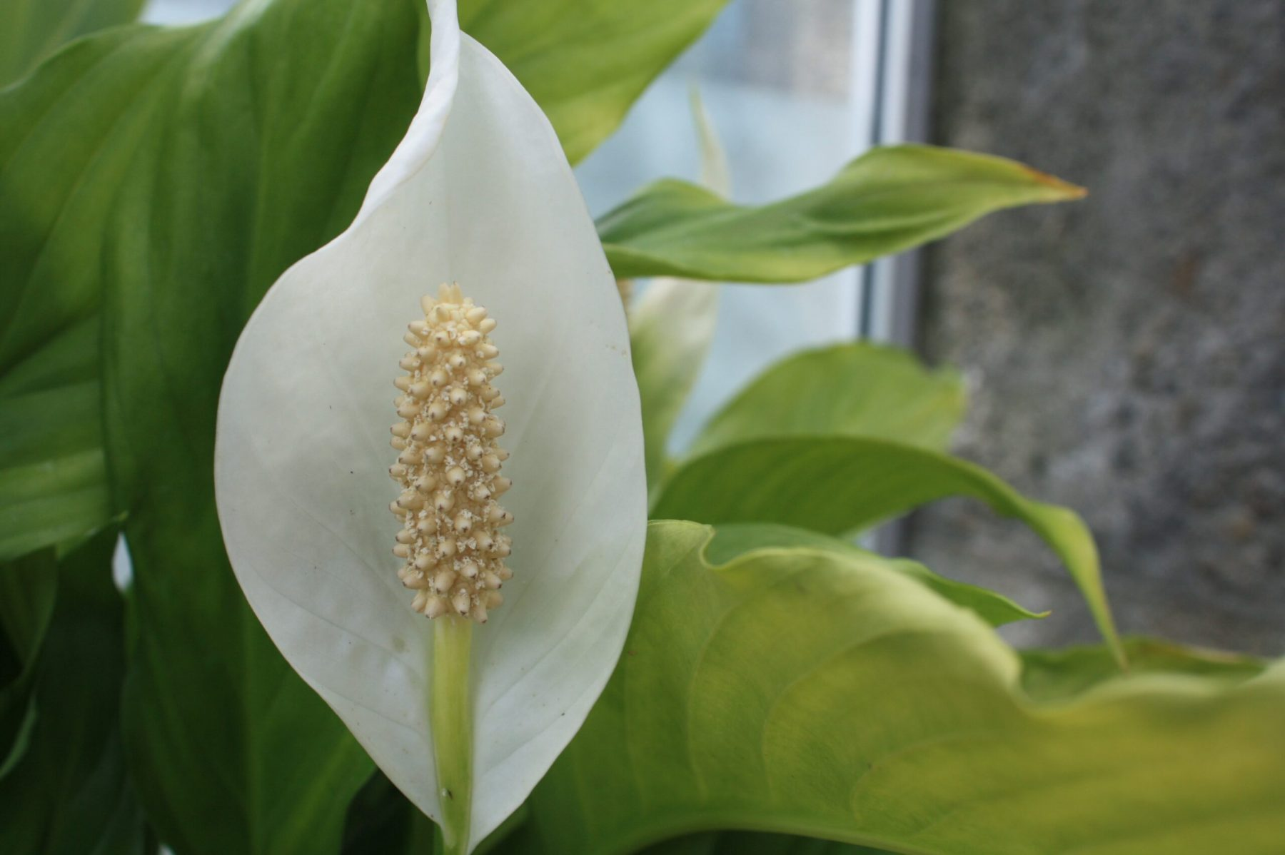 Peace Lily (Spathiphylum)