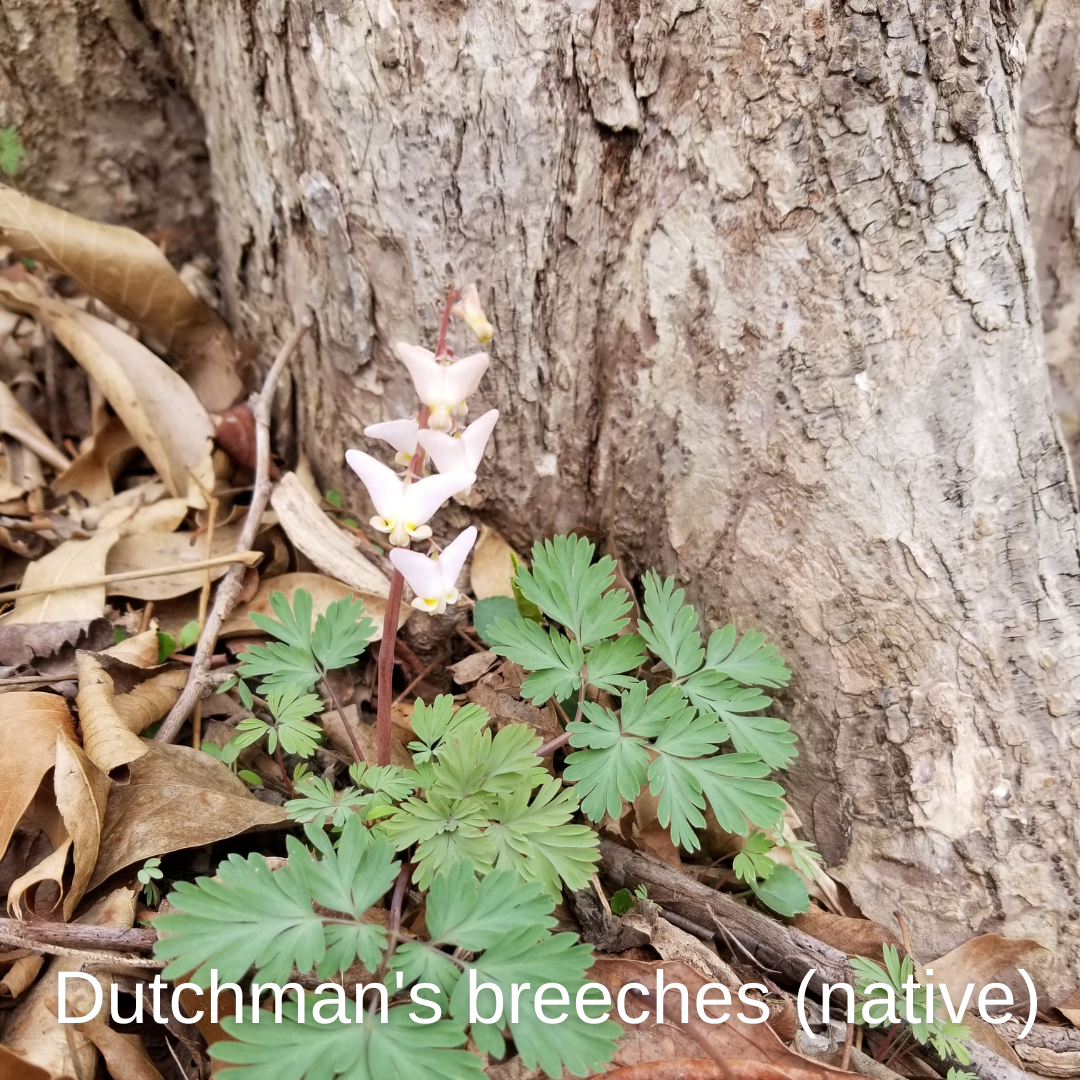 Dutchmans Breeches