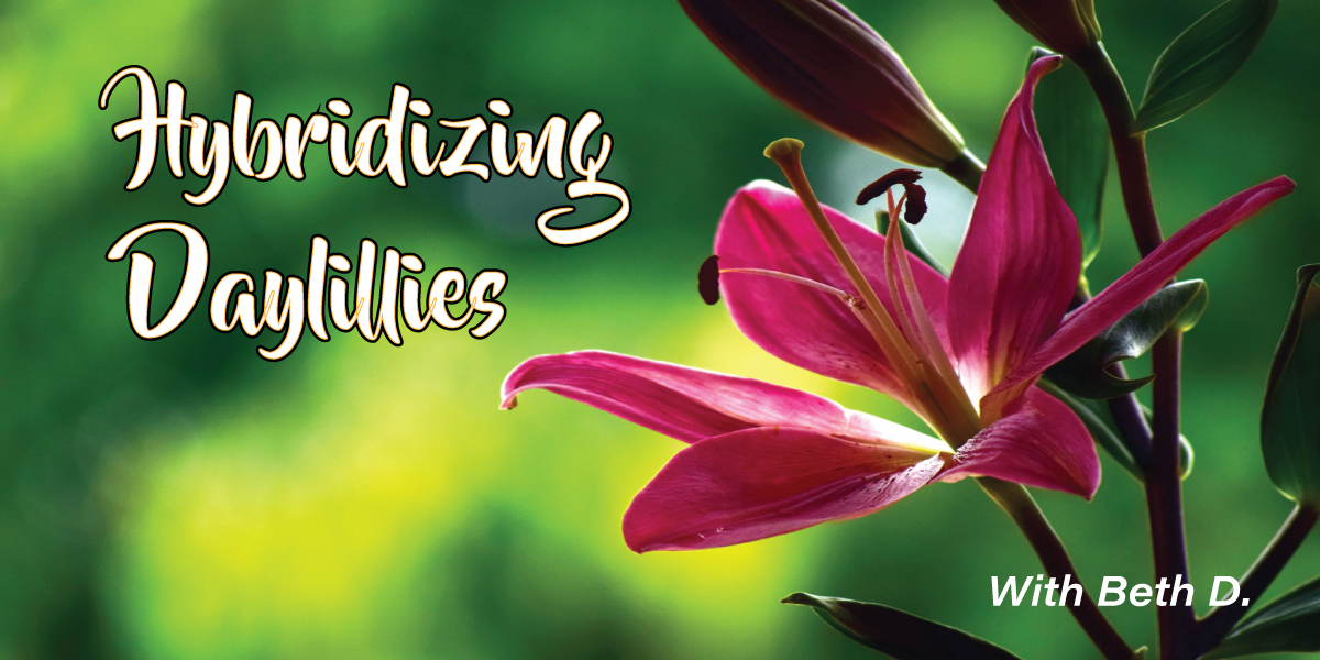 Hybridizing Daylillies