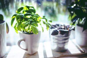 herbs in window