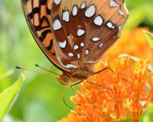 Monarch and orange milkweed